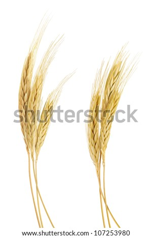 The stand golden barley on white background - stock photo
