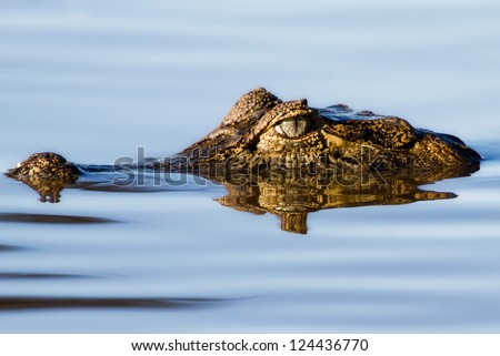 The Stare - A Yacare Caiman floating in the Pantanal wetlands, Brazil - stock photo