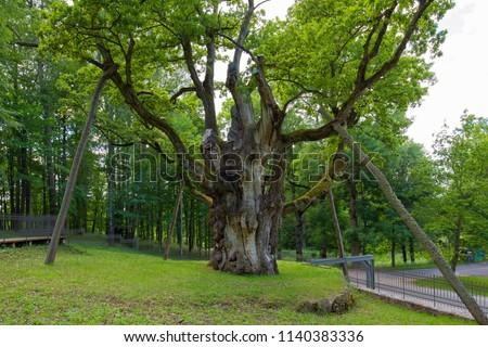 stock-photo-the-stelmuze-oak-is-the-olde