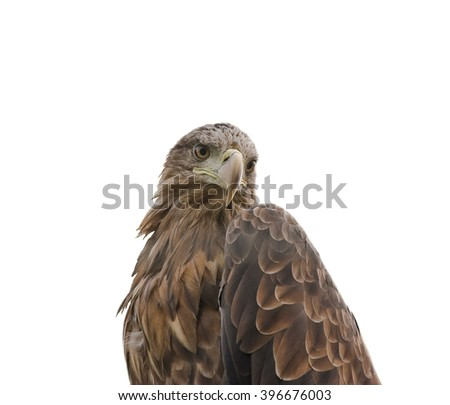 The steppe eagle (Aquila nipalensis) isolated on white background