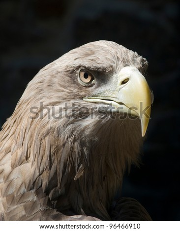 The Steppe Eagle is a bird of prey. On the bird's portrait is clearly seen a yellow beak and a brown eye.