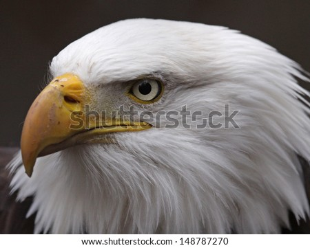 The stern face of a Bald Eagle (Haliaeetus leucocephalus).  The bird is the national bird of the United States of America.  - stock photo