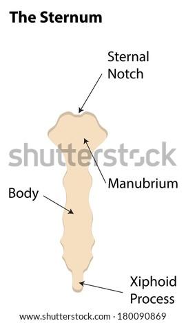 Sternum Labeled Diagram Stock Illustration 180090869 Shutterstock