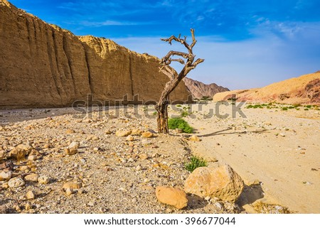 The stone desert in neighborhood of the sea resort of Eilat. Walking route on picturesque Black canyon. Fancifully curved dried tree - stock photo