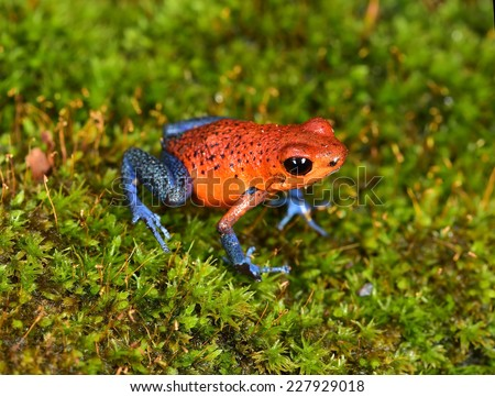 The strawberry poison frog or strawberry poison-dart frog or Oophaga pumilio species of poison dart frog found in Central America. The blue jeans color morph is found  in costa rica and panama.
