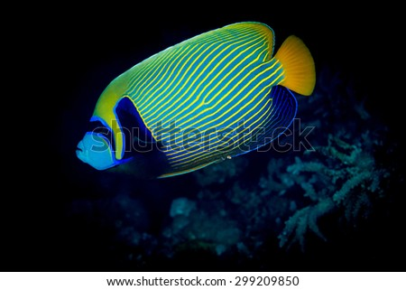 The striking colors of the Emperor angelfish (Pomacanthus imperator) at night on the reef at St John's Paradise, Red Sea, Egypt