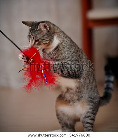 The striped domestic cat plays with a toy. - stock photo
