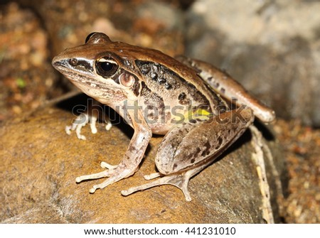 The striped rocket frog or in its native range known as the rocket frog, occurs mostly in coastal areas from northern Western Australia to around Gosford in New South Wales at its southernmost point. - stock photo