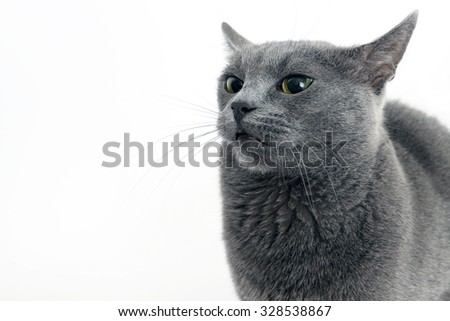 the studio portrait of a beautiful grey cat on white background