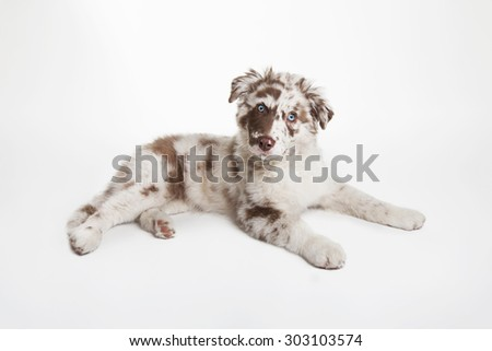 The studio portrait of the dog of Australian Shepherd lying on the white background, looking uncomprehendingly - stock photo
