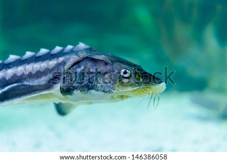 The sturgeon is photographed underwater