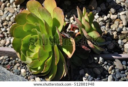 Plant Hen And S Houseleek on scilla violacea plant, poppy plant, lemon balm plant, catmint plant, sage plant, yarrow plant, holly plant, birch plant, daffodil plant, lady's mantle plant, lemon verbena plant, hellebore plant, hyssop plant, thyme plant, goat's beard plant, bottling plant, gold flower plant, hops plant, perennial plant,