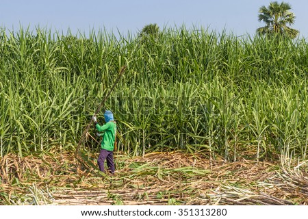 The sugar cane harvest. - stock photo