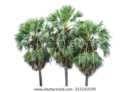 The sugar palm tree isolated