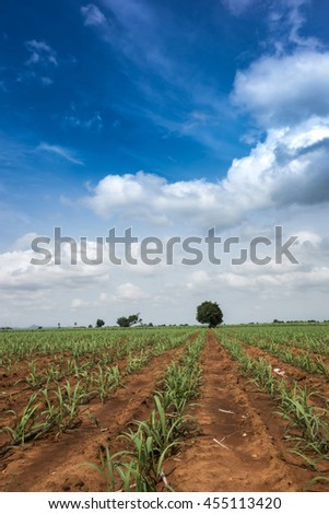 the sugarcan filed with drip Irrigation System under blue sky - stock photo