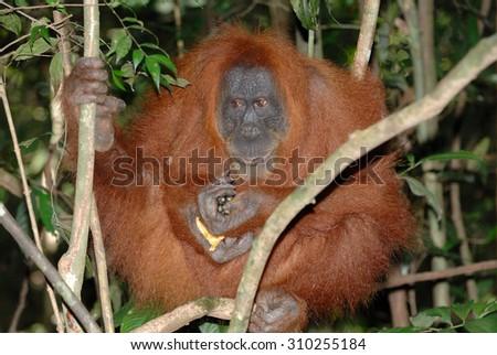 The Sumatran orangutan (Pongo abelii) is one of the two species of orangutans. Found only on the island of Sumatra, in Indonesia, it is rarer than the Bornean orangutan. - stock photo