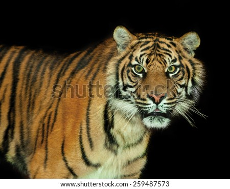 The Sumatran tiger  inhabits the Indonesian island of Sumatra. It was classified as critically endangered