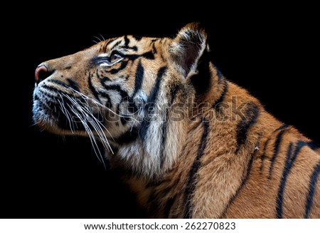The Sumatran tiger is a rare tiger subspecies that inhabits the Indonesian island of Sumatra. It was classified as critically endangered