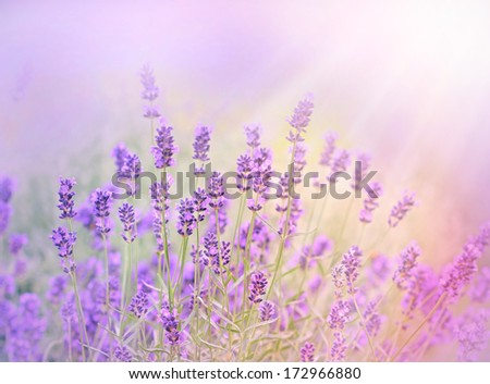 The sun's rays illuminate the lavender