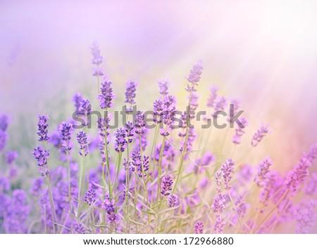 The sun's rays illuminate the lavender - stock photo