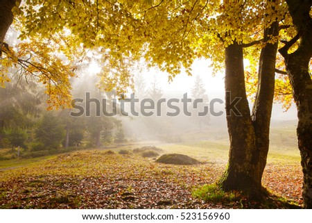 The sun's rays shine through the golden leaves of beeches in the foggy morning in a golden autumn.