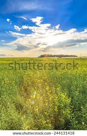The sun sets over the yellow flowers of a ripe canola field.