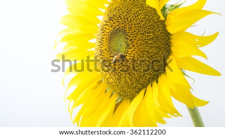 The Sunflower.