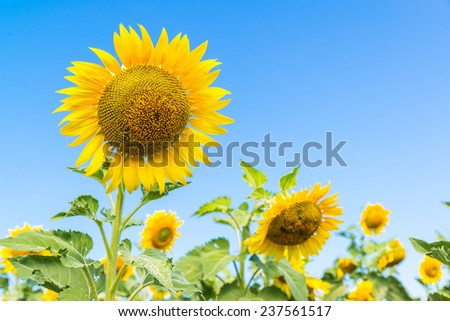 the sunflower field isolate on blue sky