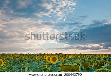 the sunflower field on background beautiful sky