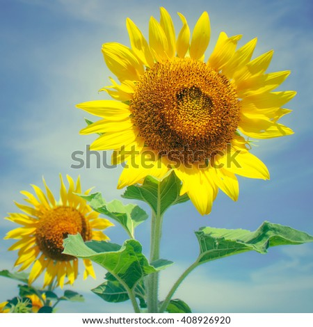 The sunflower field vintage effect style pictures