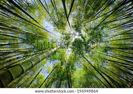 The sunlight shining down through a forest of tall bamboo trees. - stock photo