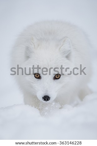 The superb arctic fox shows his wonderful winter coat in northern Norway - stock photo