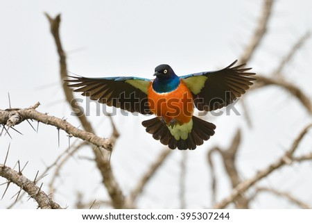 the superb starling (Lamprotornis superbus) in natural habitat - stock photo