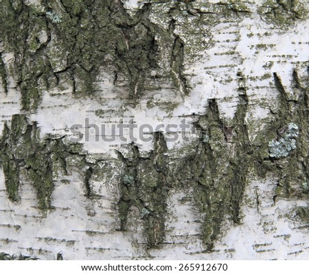 the surface of natural wood - birch, textures