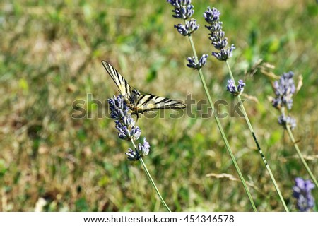 the swallowtail on lavender flower