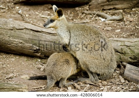 the swamp wallaby is feeding her joey - stock photo