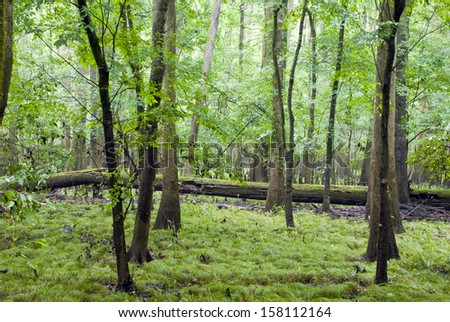 The swampy cypress forest of Congaree National Park in South Carolina on a misty rainy day. - stock photo