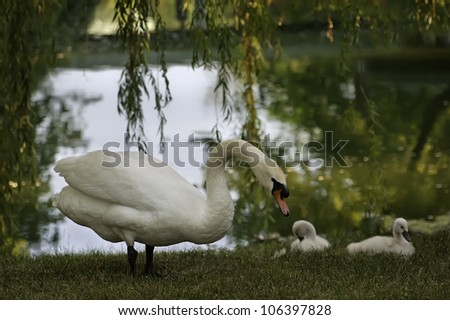 The swan family A swan family near a pond in Illinois. - stock photo