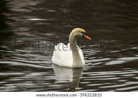 The swan-female