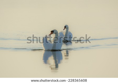 The swans swimming in the lake autumn - stock photo