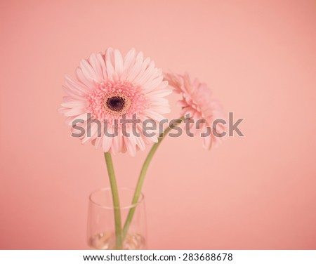 the sweet pink  Gerbera flower, romantic moment ,selective focus