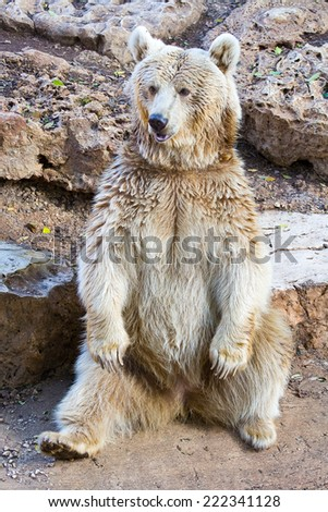 The syrian bear sit in the zoo - stock photo