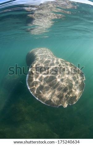 The tail of a Florida manatee (Trichechus manatus latirostris) is rounded, like a beaver's tail. This species is endangered and is of great conservation concern to the government. - stock photo
