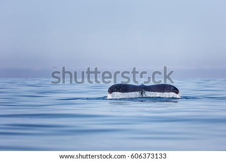 The tail of a Humpback Whale (Megaptera novaeangliae) diving in Nayarit, Mexico during very still sea