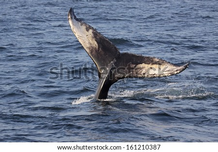 The tail of a Humpback Whale (Megaptera novaeangliae).  Shot off the coast of Maine, USA.