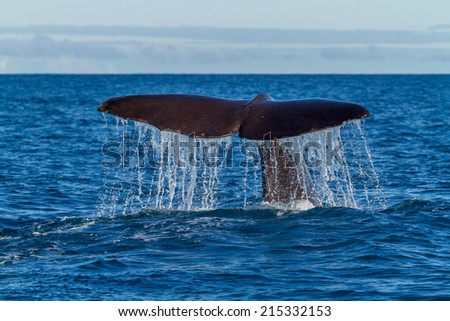 The tail of a Sperm Whale diving. Shot near kaikoura New Zealand