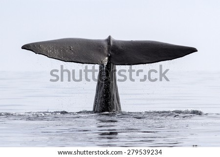 the tail of the sperm whale that dives into the waters of the Pacific Ocean - stock photo
