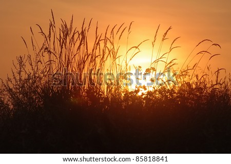 tall grass silhouette. The Tall Grass In Rays Of Rising Sun Silhouette