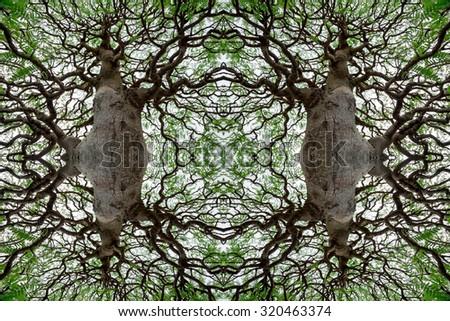 The tamarind bonsai tree. - stock photo