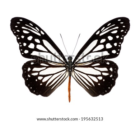 The Tawny Mime butterfly isolate on white background.